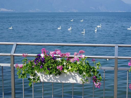 Swans and flowers